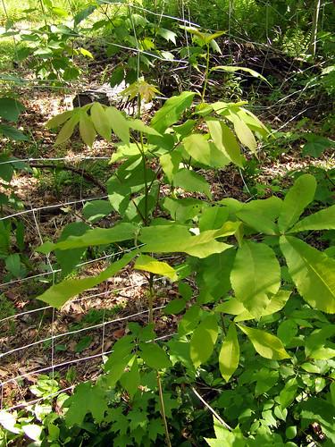 hickory seedling in deer exclosure