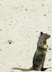 Squirrel at carmel beach