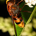 Large Hoverfly having Lunch Volucella zonaria