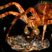 Spider kill Araneus diadematus