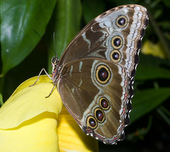 "IMG_6296: Blue Morpho • <a style=""font-size:0.8em;"" href=""http://www.flickr.com/photos/54494252@N00/27538843/"" target=""_blank"">View on Flickr</a>"