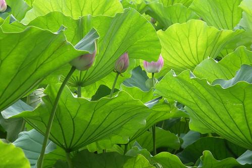 august is lotus season