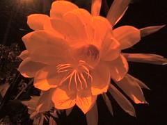 Flor de Luna 2