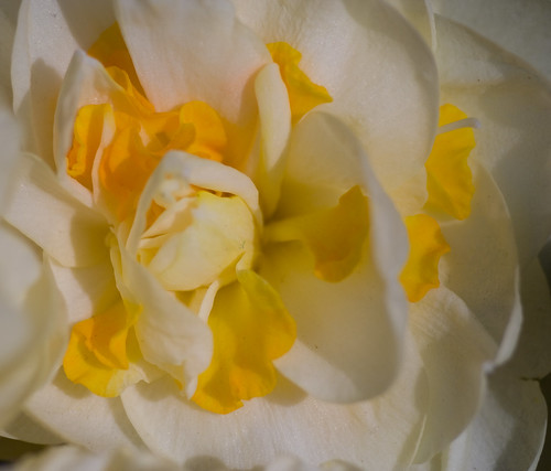 Nube blanca y amarilla de tulipán