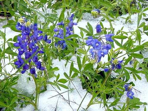 Bluebonnets in Snow