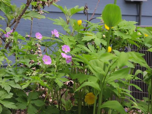 Wild geranium, with Solomon's seal and celandine poppy