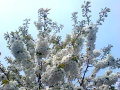 Blommande träd i Norrtälje