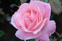 Queen Mother Rose