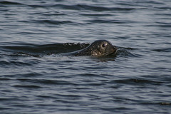 seals at popham