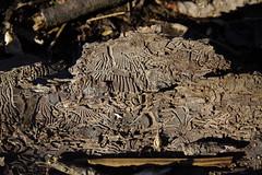 Bark Beetle Galleries