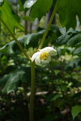 Mayapple Blossom in May