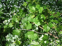 Grapevine, Sweet Woodruff and Lamium