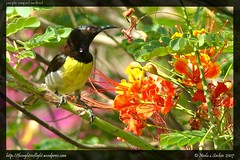 Purple-Rumped-Sunbird
