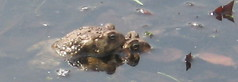 Toads Mating # 2 - May 1 2007