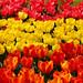 Tulipanes er Dani