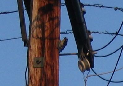 Zoom on Woodpecker