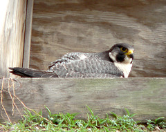 Peregrine Falcon (adult female at Wacker)