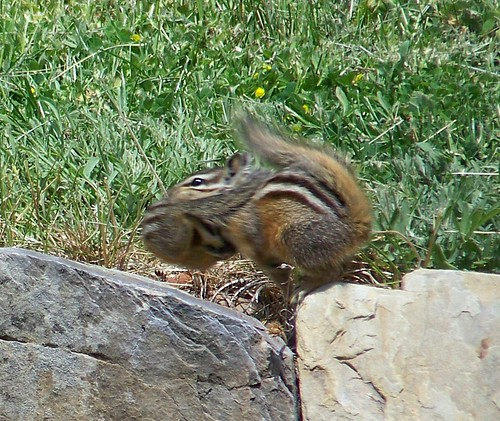 Chipmunk carrying her baby