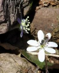 hepatica wasp