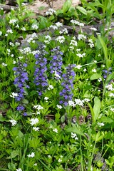 Bugle and Sweet Woodruff
