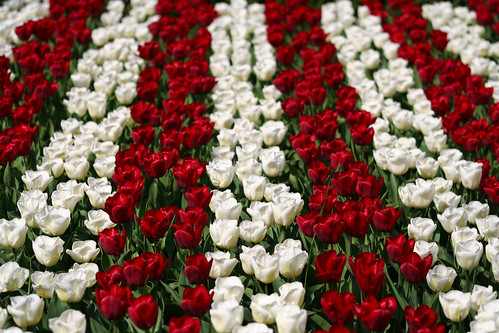 Tiras de tulipanes blancos y rojos