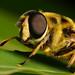 Hoverfly close up Myathropa florea