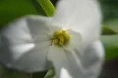 White Trillium Dream