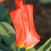 Tulipán Asuntos varios