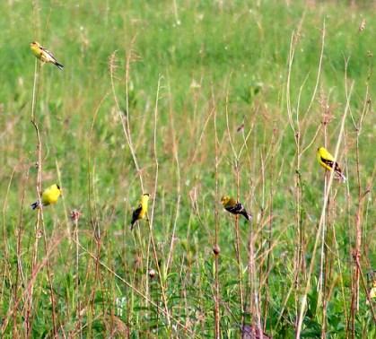 goldfinch flock