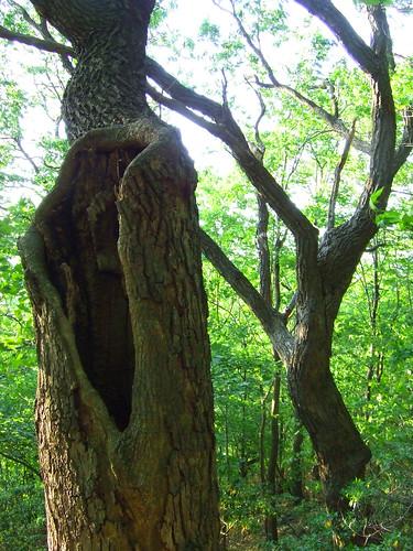 rock oaks