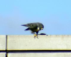 """Peregrine Falcon (probably MCC Male """"Max"""") 1"""