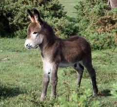 Donkey Foal by pjeastboldre