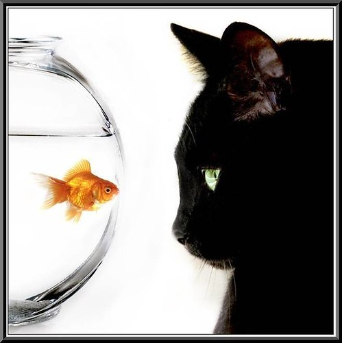 cat looking at goldfish