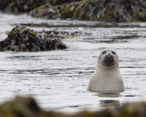 Harbor Seal - Estero Bluffs harbor-seals-estero-bluffs_A