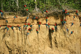 Macaws at the Clay Lick