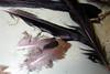 Dead Bird CSI - Mourning Dove, Grackle