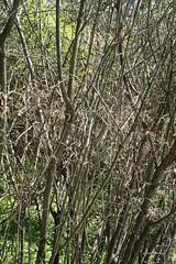 Viburnum - Defoliated