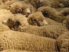 sheep at the show 1