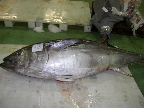 Atlantic Bluefin Tuna (Thunnus thynnus)