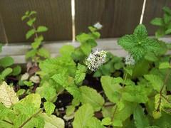 Mint plant - now flowering