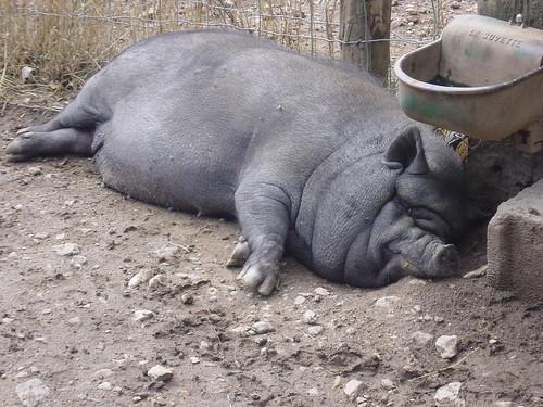 Glory Hog