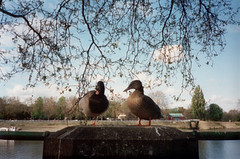 ducks at fulham