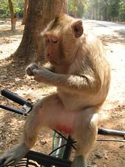Monkey on Bicycle