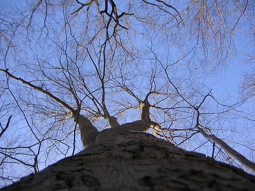 Beech tree by Treehugger
