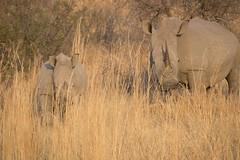Halt biodiversity loss by combatining illegal trade in rhino hornsWhite rhinos - Pia JONSSON