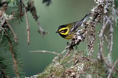 Townsend's Warbler | townsendskogssångare | Setophaga townsendi