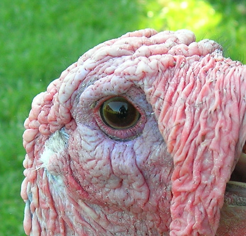 Turkey eye