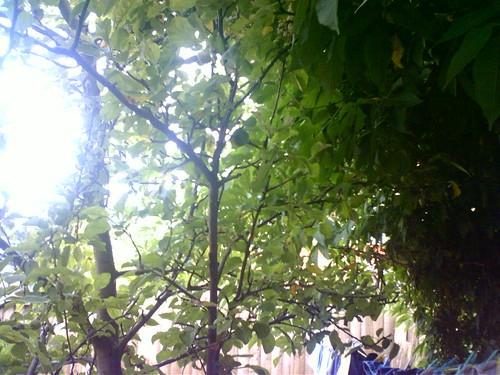 Apple Tree Sunray