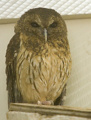 """IMG_8111: Mottled Owl • <a style=""""font-size:0.8em;"""" href=""""http://www.flickr.com/photos/54494252@N00/73824363/"""" target=""""_blank"""">View on Flickr</a>"""