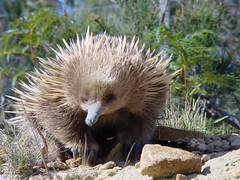 Young Echidna, Coles Bay